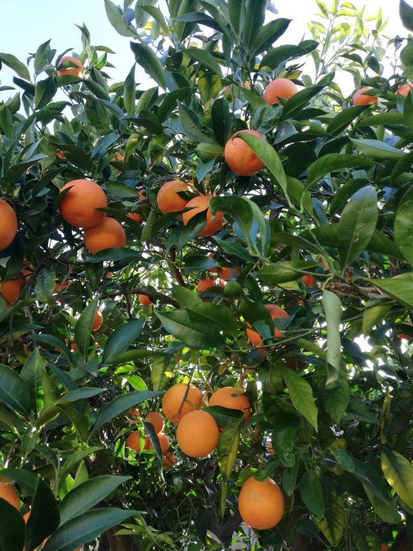 arance varietà tarocco