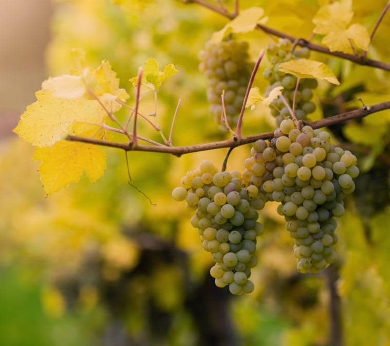 Albanello storia di un vitigno e di un vino che sono quasi una leggenda